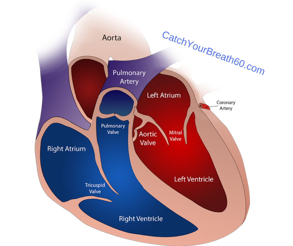 shows right and left side of a human heart